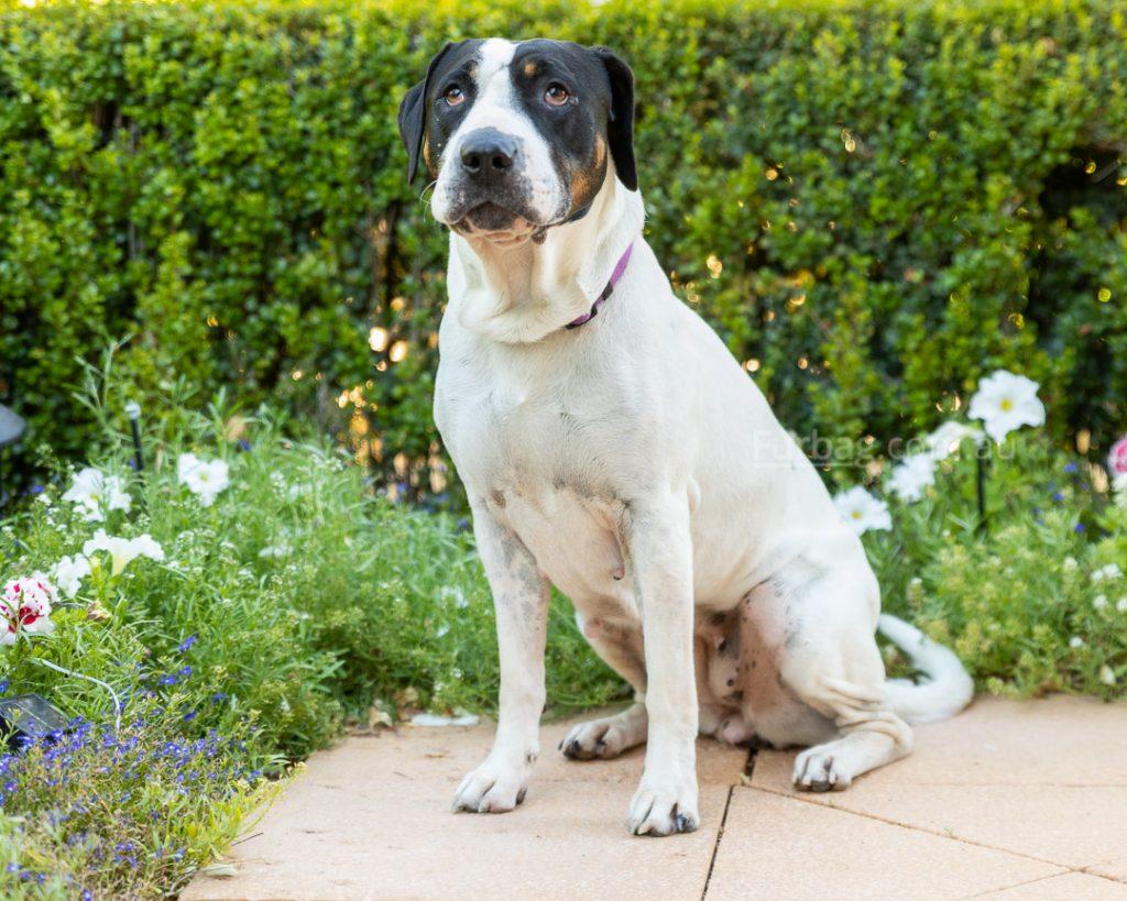 Black and white bull arab dog